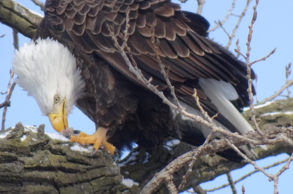The eagle sits in a nearby tree and enjoys its fish lunch.